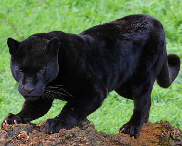 В Подмосковье пантера загрызла мужчину в частном доме