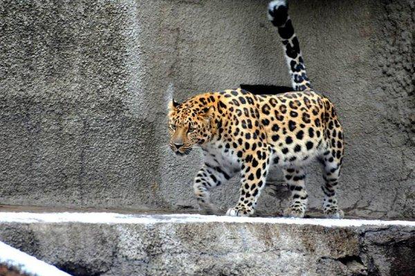 Прокуратура проверит зоопарк в Приморье, где на ребёнка напал леопард
