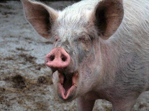 В Литве пьяная свинья терроризировала собак