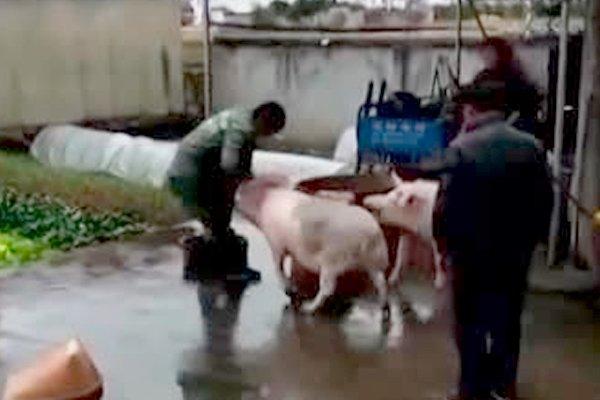 Свинья спасла своего сородича от ножа мясника