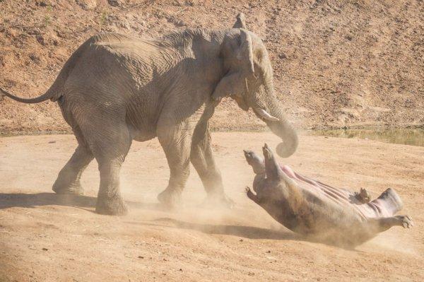 На видео сняли нападение разъяренного слона на бегемотов