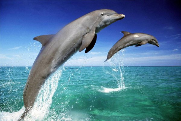 В Австралии дельфина задушил осьминог