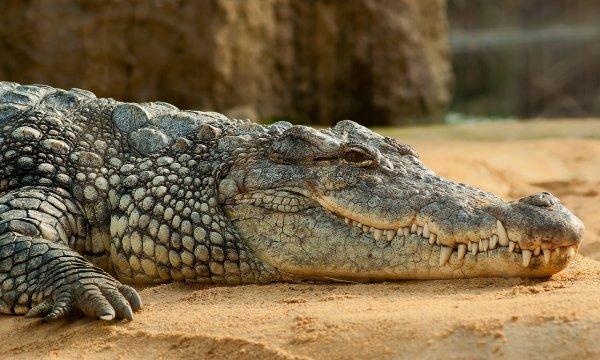 В Санкт-Петербурге в Петергофе обнаружили в подвале крокодила