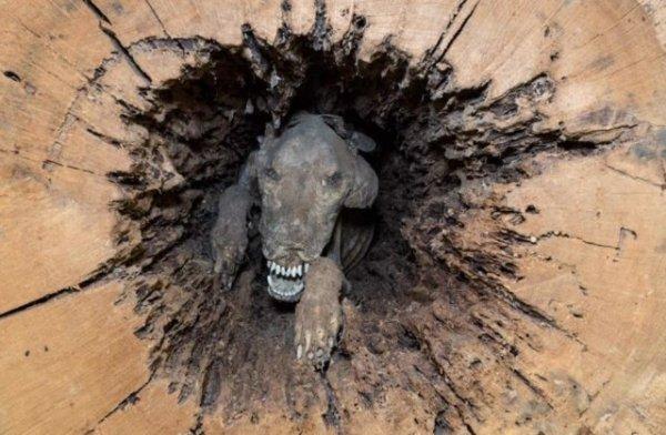 Лесорубы обнаружили в дереве 60-летнюю собаку