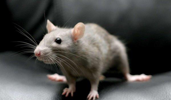 В США осудили родителей младенца, искусанного крысами