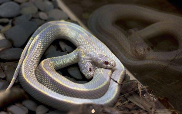 На видео сняли драку двух голов одной змеи