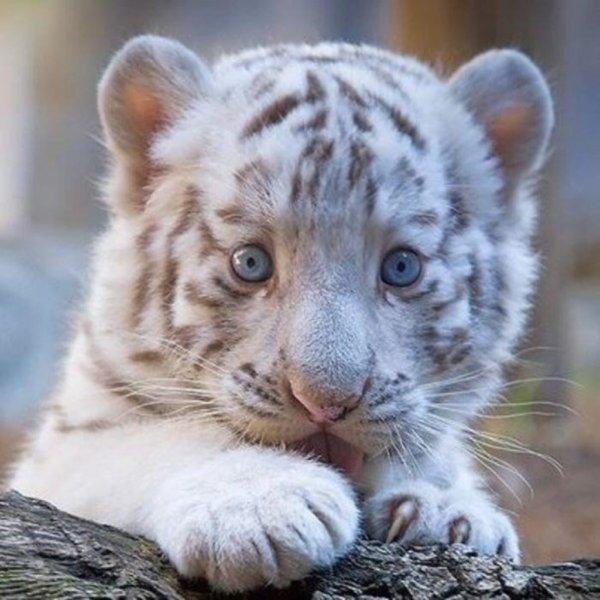 Бенгальский тигренок, отправленный Мексиканской почтой, спасен