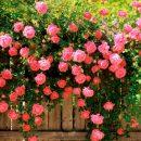 Розы, которые будут радовать вас долгие годы