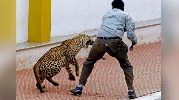 В Индии леопард набросился на мужчину посреди многолюдного мегаполиса