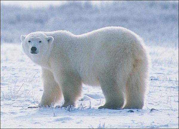 На Ямале наглый белый медведь разозлил вахтовиков