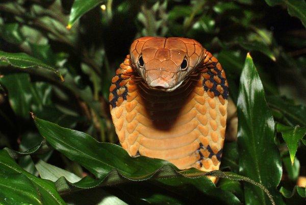 Индийская кобра с перепугу выплюнула три яйца