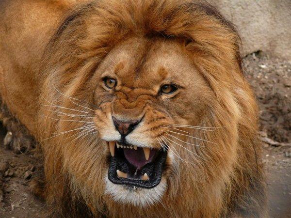 В Испанском цирке тигров и львов морили голодом