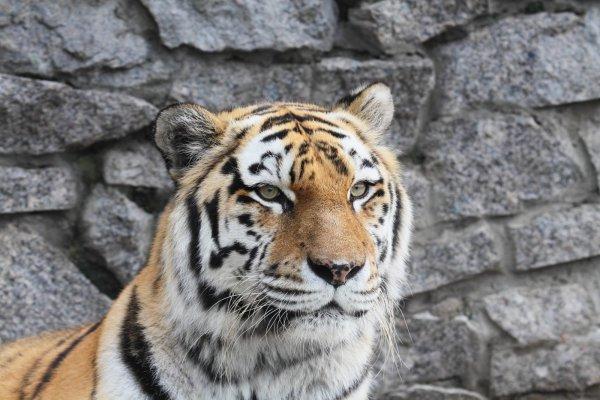 На сотрудника WWF напала тигрица в Приморском крае