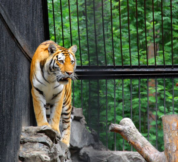 Тигр из Москвы растерзал самку в зоопарке Копенгагена