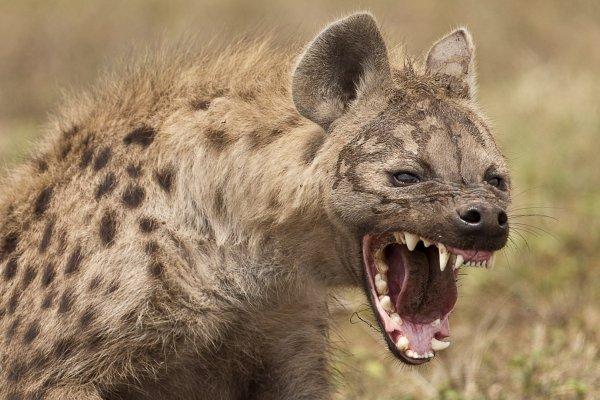 В ЮАР подрались гиены и собаки