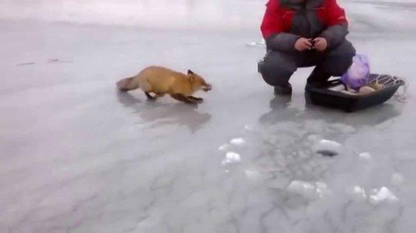 Воронежский рыбак накормил раненную лису в центре города