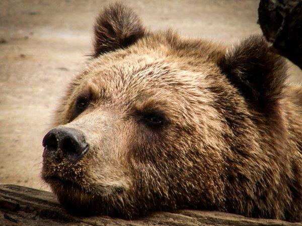 Побег года: Медведь сломал забор при попытке перейти через границу Латвии в РФ