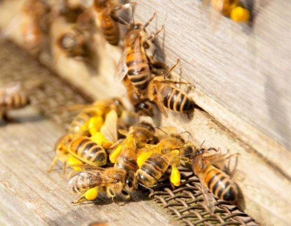 В США миллионы агрессивных пчел оккупировали частный дом