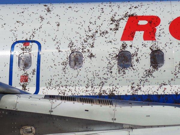 Пчелы атаковали самолет во Внуково