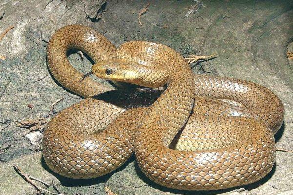 Охотник из Кировской области поймал огромную ядовитую змею