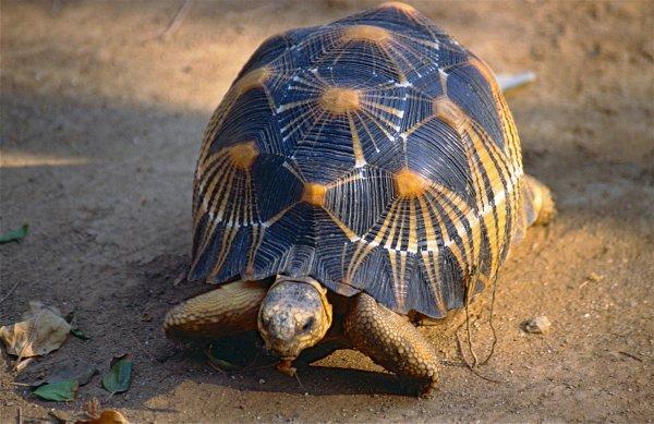 Подозрительное зловоние:На Мадагаскаре по неприятному запаху в доме нашли 10 тысяч черепах
