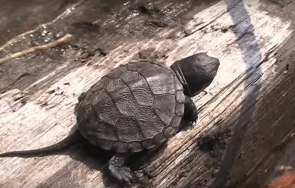 В Ростове браконьеры уничтожили десятки черепах с детенышами в реке Темерик