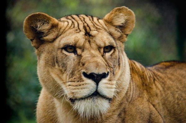 В Кении львица «украла» камеру у документалистов фильма про Африку
