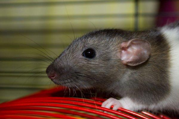 Крыса-экстримал вылезла на капот машины ярославца прямо во время движения