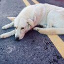 На дороге под Смоленском 5 дней мучается умирающая собака
