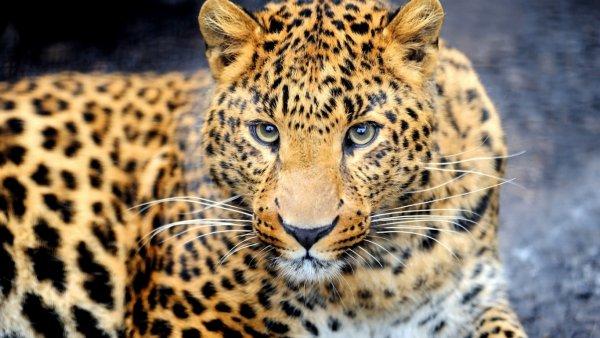 Любопытный леопард: На видео сняли игру животного с ногой туриста