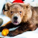В Красноярском крае возле детского санатория поймали медвежонка, заманив его сгущенкой