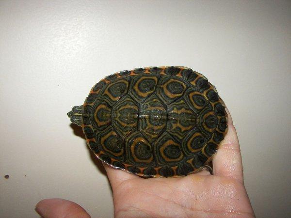 Черепаха-путешественница прошла 6 километров и была задержана таможенниками