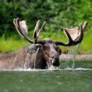 В озере под Лугой перед отдыхающими плавал лось