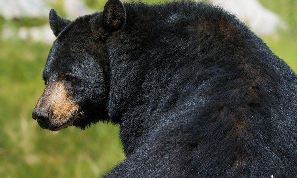 Американец подрался с медведем за нападение на собаку