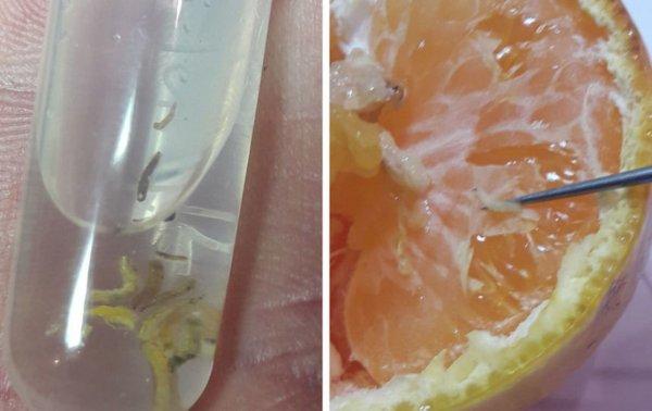Египетские апельсины с личинками мух обнаружили в порту Петербурга