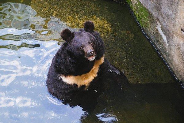 В Коми медведь гонялся за полицией и бегал от нее же