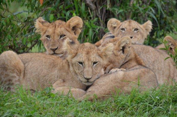 Владелец сафари-парка в Крыму спас львицу от других хищников «волшебным тапком»