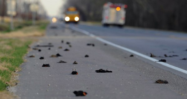 Аномальное явление: В Свердловской области на дорогу упали сотни мертвых птиц