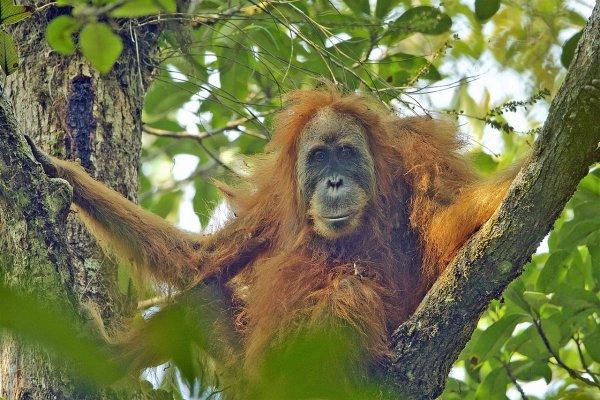 В Индонезии орангутан сразился с уничтожающим лес бульдозером