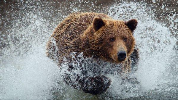 На Камчатке мужчина утонул, спасаясь от медведя