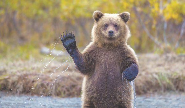 В Печоре медведь гулял по центру города
