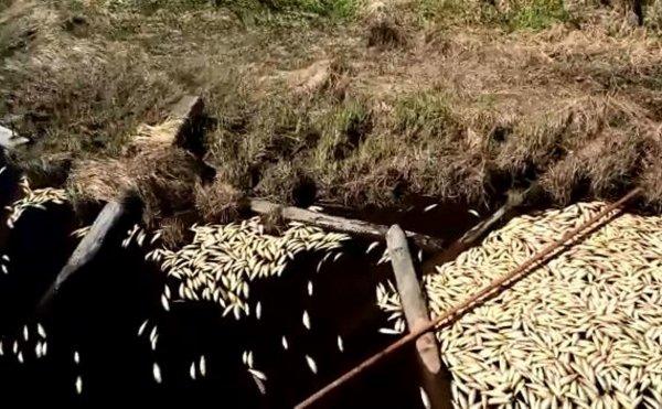 Экологи рассказали о массовой гибели сельди на Сахалине