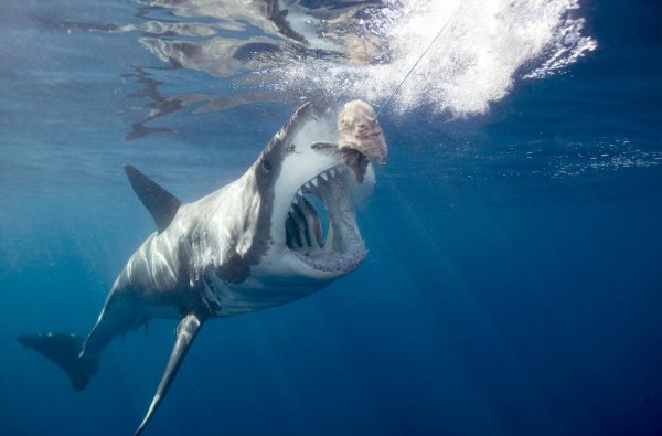 Две акулы напали друг на друга на глазах у дайверов