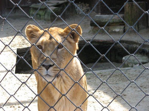 Два питона и годовалая львица больше недели жили в машине в Челябинске