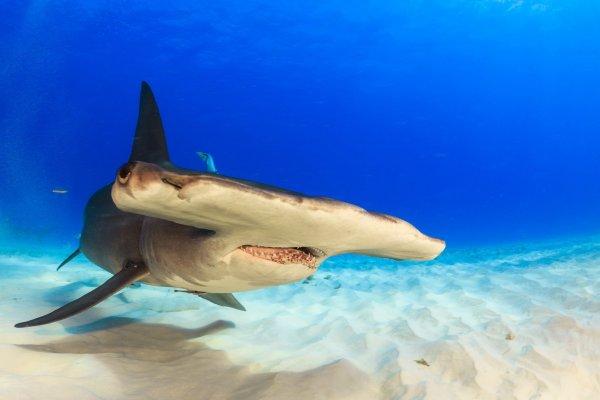 Очевидцы запечатлели у берегов Флориды ожесточенный бой акулы-молота и тарпона