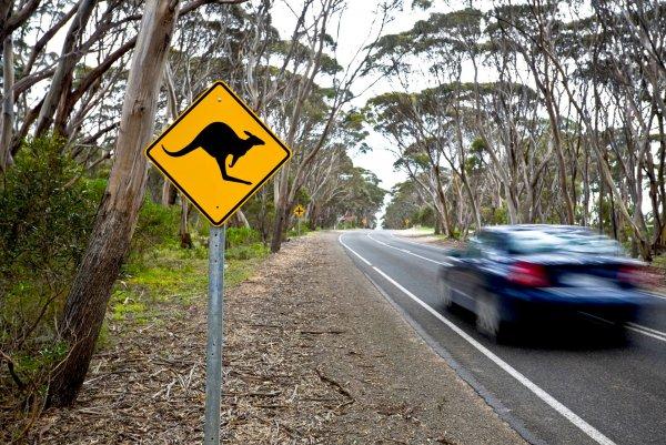 В Австралии произошло ДТП с участием кенгуру