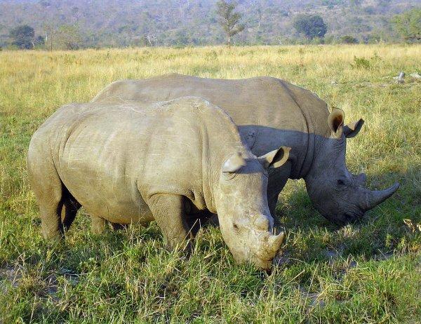 В ЮАР браконьеры лишили жизни редкого носорога из-за сантиметра рога