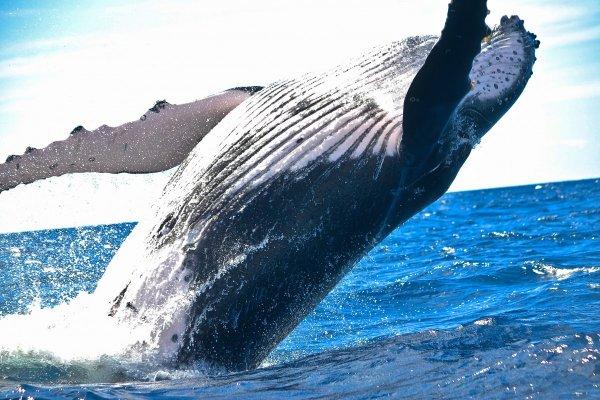 На севере Камчатки горбатый кит запутался в сетях и погиб