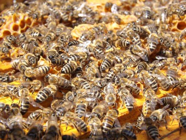 Пчеловоды Амурской области сообщили о массовой гибели пчел