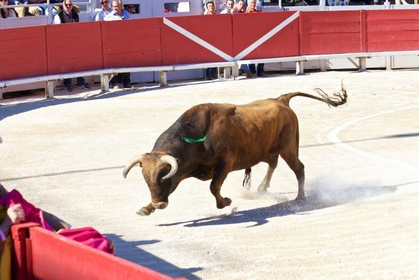 В Испании матадор потерял часть скальпа в бою с быком